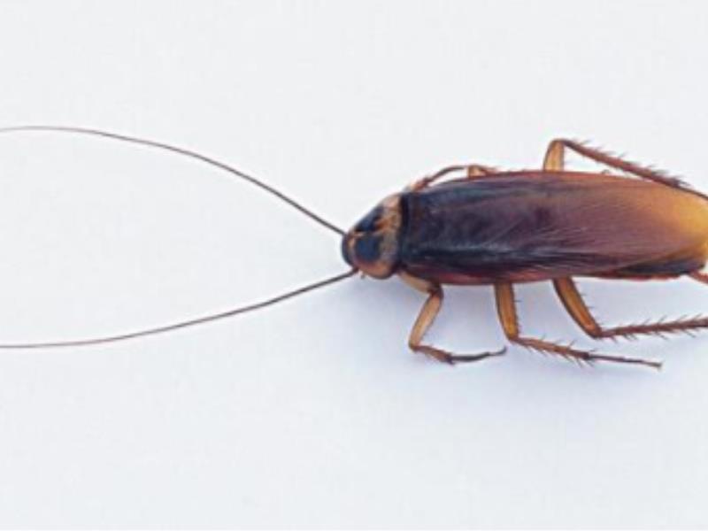 蟑螂灭杀服务_蟑螂如何消杀