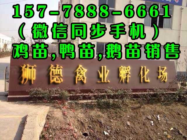 广西鸡苗批发市场 广西鸡苗多少钱一只  狮德禽业