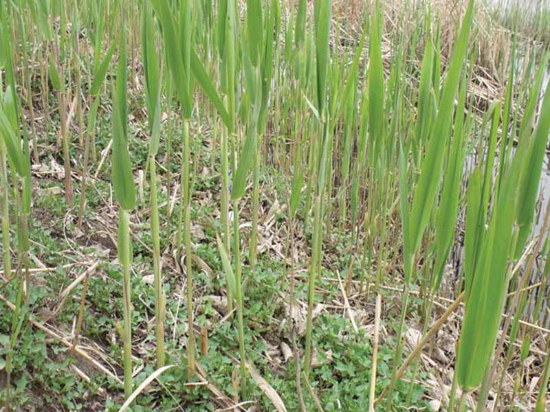 芦苇苗——天蓝水生植物